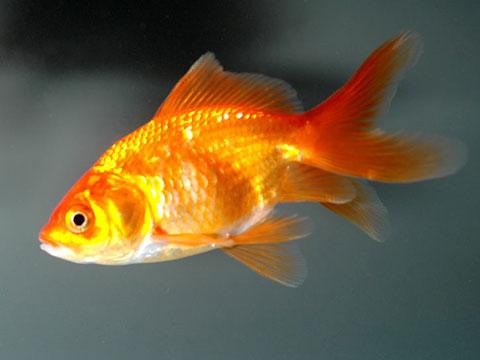 Annaritamaestra carta d 39 identit dei pesci rossi for Dove comprare pesci rossi