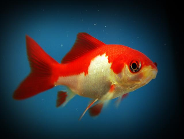 Annaritamaestra carta d 39 identit dei pesci rossi for Pesci rossi piccoli